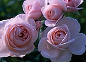 Rose 'Tendresse' (noble rose of Delbard)