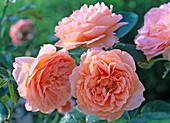 Rosa 'Belvedere' - Strauchrose 1,5 - 1,8 m hoch