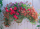 Diascia barbarae 'Flying Colors Apricot Diastina', Petunia