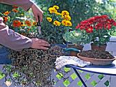 Exchange blooming petunia in late summer