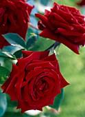 Rose 'Pearl Noir'