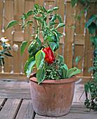 Paprika in terracotta pot
