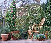 Lavender, winds, Thunbergia, Passiflora, Solanum