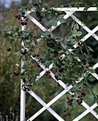 Blackberry on the trellis
