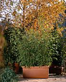 Phyllostachys aurea (bamboo)