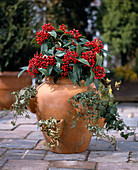 Pocket amphora with Hedera helix varieties and Skimmia japonica