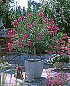 Nerium oleander as a half-stalk