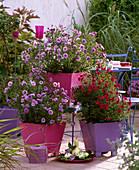 Aster novi-belgii, 'Marie Ballard', 'Royal Ruby', tin pots