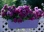 Box with Petunia hybrid, Petunia grandiflora 'Wimbledon Mix'