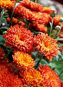 Chrysanthemum indicum 'Dreamstar Julietta'