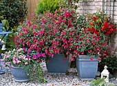 Fuchsia hybrid red-pink, simple, Impatiens walleriana 'Double'