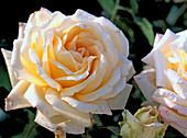 Rose 'ambiance'