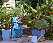 Palm tree balcony, Chamaerops humilis, Phoenix roebellini