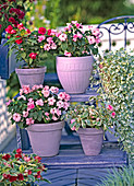 Impatiens walleriana 'Double pink', Pink with eye, 'Pink Ice'