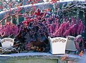 Calluna 'Amethyst' (heather), Heuchera 'Purple Petticoats'