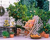 Citrofortunella microcarpa (Calamondin orange), Citrus myrtifolia