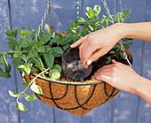 Hanging basket irrigation homemade