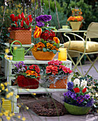 Etagere with Tulipa 'Flair' and 'Red Paradise' / Tulips, Primula obconica