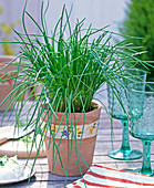 Allium schoenoprasum (chives) in the pot