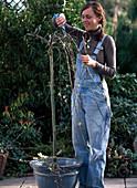 Salix caprea 'Pendula' (hanging kitten willow) expertly