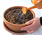 Advance tuberous begonias