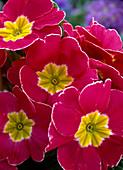 Primula vulgaris 'finesse amaranth' (spring primrose)