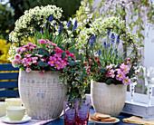Clematis 'Pixie', Bellis 'Tasso strawberry cream'