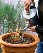 Plant dahlia in tub