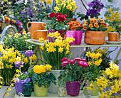 Narcissus 'Tete A Tete' (Narcissus), Ranunculus 'Bloomingdale'