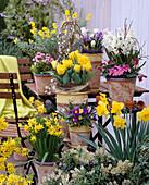 Narcissus 'Tete a Tete', 'Carlton' Daffodils, Tulipa 'Monte Carlo'