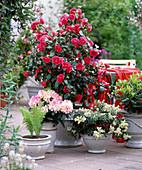 Camellia 'Flame' (Camellia), Rhododendron yakushimanum, Pieris)
