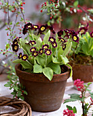 Primula auricula (garden auricle) in clay pot