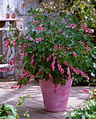 Dicentra spectabilis (Bleeding Heart) in pink pot