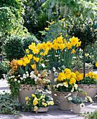 Narcissus, tulipa, primula