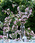 Malus (apple blossom) in various glass jars