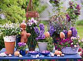Viola sororia-Pentecost violet, Viola pansy, Hyacinthus