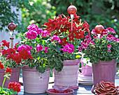 Nicotiana 'Red' (ornamental tobacco), Pelargonium 'Rocky Mountain Violet'