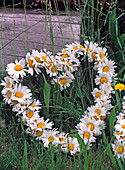 Leucanthemum (spring marguerite) wrapped on wire heart
