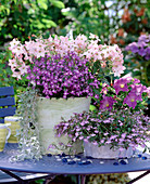 Nicotiana 'Tuxedo Peach' ornamental tobacco, Lobelia 'Big Blue', 'Lavender'