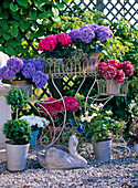 Hydrangea Hybrid Hydrangeas in all colors, Buxus, box double ball
