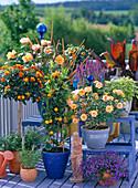 Lantana, citrus mitis (calamondin orange), roses