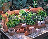 Succulent garden on a tile, Sedum (Stonecrop)