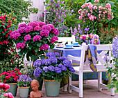 Hydrangea 'Compacta', 'Adria' (Hydrangea, Rosa chinensis)
