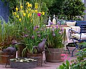 Iris pseudacorus, Iris sibirica