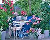Rosa 'Leonardo Da Vinci', 'Bonica' (Rose), Robinia hispida