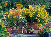 Rudbeckia 'Prairie Sun' (Coneflower)