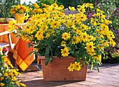 Clay box with Rudbeckia 'Prairie Sun' (coneflower)