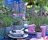 Lavandula 'Munsted', 'Dwarf Blue' (Lavender)