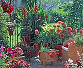 Haemanthus multiflorus / Blutblume, Canna / Blumenrohr