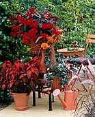 Begonia 'Panorama' (Ampel Begonia scarlet)
